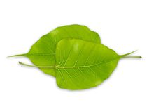 Bodhi leaves Royalty Free Stock Photo