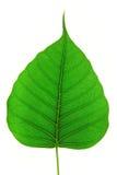 Bodhi leaves Stock Photos