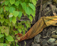 Bodhi leaves evenly between Bodhi tree. With yellow robe Royalty Free Stock Photography