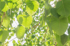 Bodhi leaves. Royalty Free Stock Image
