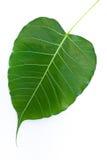 bodhi liść Fotografia Stock