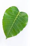 bodhi liść Zdjęcia Stock