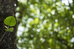 Bodhi liść w Muang Singh dziejowym parku Zdjęcie Royalty Free