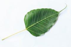 Bodhi liścia żyła odizolowywająca na białym tle zdjęcia royalty free
