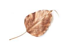 Bodhi liścia żyła odizolowywająca na białym tle fotografia royalty free