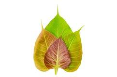 Bodhi lub Peepal liść Obraz Stock