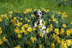 Bodhi o dalmation em daffodils da mola Imagem de Stock