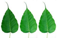 Bodhi-o-Peepal-Fogli Fotografia Stock Libera da Diritti