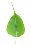 Bodhi oder Peepal Blatt vom Bodhi Baum Stockfotografie