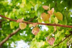 Bodhi oder pho Blätter und Baum Lizenzfreie Stockfotos