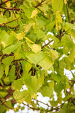 Bodhi oder pho Blätter und Baum Lizenzfreie Stockbilder