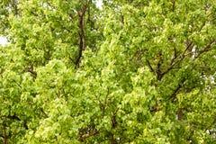 Bodhi oder pho Blätter und Baum Stockfotos
