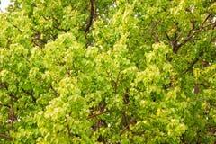 Bodhi oder pho Blätter und Baum Lizenzfreie Stockfotografie