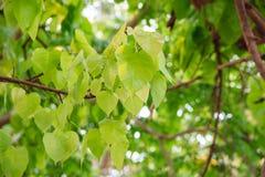 Bodhi oder pho Blätter und Baum Stockbilder