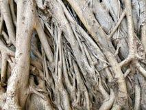 Bodhi ou textura das raizes da árvore de banyan imagens de stock