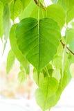Bodhi of Peepal-Blad van de Bodhi-boom s Stock Afbeeldingen