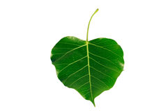 Bodhi or Peepal Leaf Stock Photography
