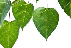Bodhi or Peepal Leaf from the Bodhi tree Stock Photography