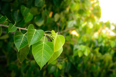 Bodhi or Peepal Leaf from the Bodhi tree Royalty Free Stock Photo