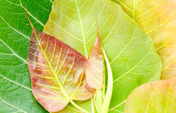 Bodhi or Peepal leaf and buds  background Stock Photography