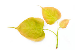 Bodhi or Peepal leaf and buds on white background Stock Image