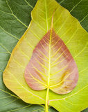 Bodhi or Peepal leaf and new leaf background Stock Photography