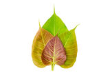 Bodhi or Peepal Leaf Stock Image
