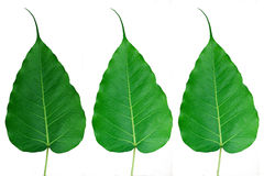 Bodhi-or-Peepal-Leafs Royalty Free Stock Photo