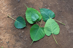 Bodhi Peepal Leaves Stock Photo
