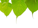 Bodhi or Peepal Leaves on white background Stock Photos
