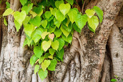 Bodhi or pho leaves and tree. Royalty Free Stock Image