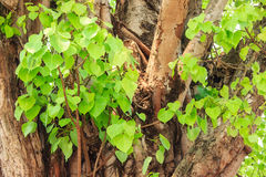Bodhi or pho leaves and tree Royalty Free Stock Image