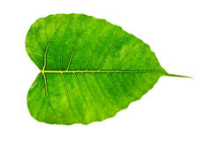 Isolated Bodhi leaf Royalty Free Stock Image