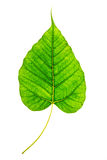 Isolated Bodhi leaf Stock Images