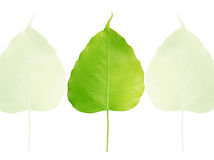 Bodhi or Sacred fig leaf Stock Images