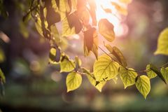 Bodhi textured leaf at sunset. Bodhi leaf textured with blurred defocus background at sunset in garden. Natural abstract pattern with copy space for text royalty free stock photography