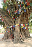 Bodhi träd i Lumbini (Buddha födelseort) Royaltyfri Foto