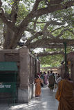 The Bodhi Tree at the Mahabodhi Temple Royalty Free Stock Photo