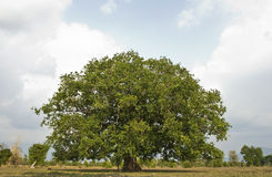 Bodhi tree Royalty Free Stock Photos