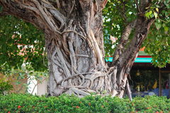 Bodhi tree. And buddhist temple in wat in Thailand Stock Photography