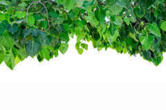 Bodhi tree cover shade on background Stock Photography