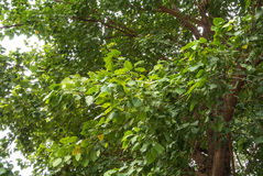 The bodhi tree. Ficus religiosa or sacred fig is also known as the bodhi tree, pippala tree, peepul tree, peepal tree Stock Photos