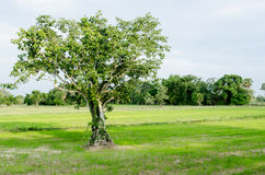 Bodhi tree. In field in nature Stock Image