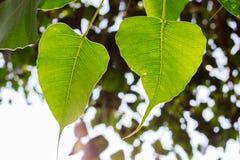 Bodhi tree Stock Images