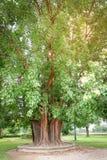 Bodhi tree royalty free stock photography