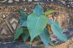 Bodhi tree grow on brown wall royalty free stock photo