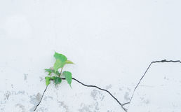 Bodhi tree grow up from cracked concrete wall Stock Images