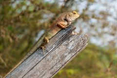 Close up Light red-brown and light green thai chameleon on the old bamboo with sunshine in Summer royalty free stock photos