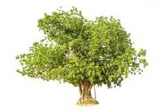 Bodhi Tree isolated against a over white background royalty free stock photos