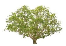 Bodhi Tree isolated on white background Royalty Free Stock Photos